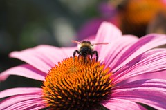 Bumblebee on flower (Winni Neessen) Tags: family flower closeup insect dof bokeh hometown august 2006 bumblebee homesweethome eastfrisia animalkingdomelite top20bokeh top20bokeh20 sigma70300mmf456dgmakro