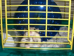 Just saying hi (MariMaki) Tags: pets animals hamsters dwarfhamsters lilbear