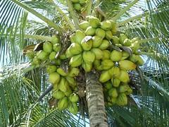 Abundance (Gui, o gato) Tags: plants tree green nature fruit garden outside coconut exotic tropical