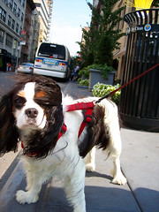 ny pup (i am riding on the screen name carousel) Tags: nyc newyorkcity dog ny newyork cute pose hair puppy fur funny humorous wind sweet windy blowing canine blow 5bestdogs leash