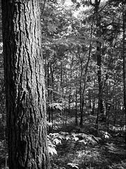Trees (kategottli) Tags: ottawa ottawariver stonecliffe