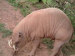 Babirusa (Kaptain Kobold) Tags: uk england holiday animals mammal zoo pig lakedistrict myfave tusks animalpark babirusa kaptainkobold yourfave 20favthings southlakeswildanimalpark