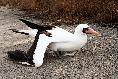 Masked booby image