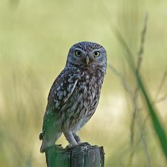 Little Owl, (Athene Noctua) (m. geven) Tags: birds little owl noctua d200 athene featheryfriday steenuil 200400mmf4gvr animalkingdomelite bokehsoniceaugust 200400vr groessen bokehsoniceaugust18 spectacularbirdsofeurope