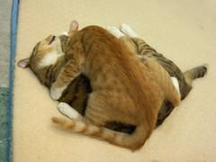 EPSN6245 (jacky elin) Tags: orange cats brown cat mix tabby jacky miu