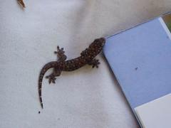 Baby Gecko (VerenaFuchs) Tags: bali candidasa babygecko