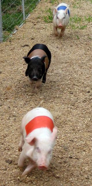 Pig Race #3
