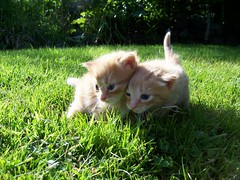 2 GINGER CATS (Nicolas Valentin) Tags: cute topf25 kitten top20cats cc800 cc1100 1on1petsphotooftheday abigfave 32fav