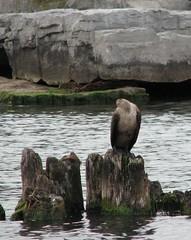 The Headless Cormorant of Rondeau Bay (ricmcarthur) Tags: bird nature water rondeau cormorant ilovenatureplstagpoolx