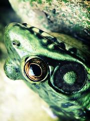 O_o (solecism) Tags: frog onacid utata:project=colourgreen