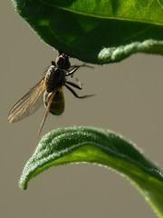 P1080662.JPG (Jonathan Nardi) Tags: france macro closeup bug insect lumix jonathan panasonic than insecte nardi dcr250 raynox macrophotographie raynoxdcr250 fz7 thanidran jonathannardi