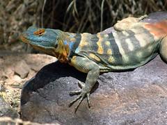 San Lucan banded rock lizard 03 (wplynn) Tags: california arizona animals rock san lizard baja lucan banded flickrsbest thalassinus petrosaurus
