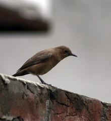 Sparrow :) (Yousaf FAYYAZ) Tags: pakistan bird sparrow lahore