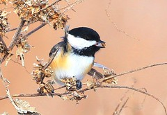 black-capped chickadee eating giant ragweed seed at Neste Valley IA 854A4166 (lreis_naturalist) Tags: blackcapped chickadee neste valley winneshiek county iowa larry reis