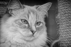 Kelcy ragdoll (Ruud.) Tags: ruudschreuder nikond300 d300 nikon 18200mm kat poes cat katze chat kelcy ragdoll bw nik silverefex 7100 750 3200 3300 3400
