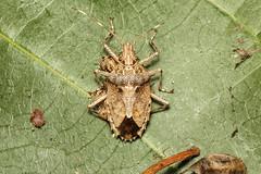 Pentatomidae sp. (Stink Bug) - QLD, Australia (Nick Dean1) Tags: pentatomidae stinkbug hemiptera australia arthropoda arthropod hexapoda hexapod insect insecta