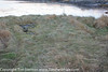Otter Run 13 Dec-16-7926 (tim stenton www.TimtheWhale.com) Tags: commonotter eurasianotter europeanotter landmammal loch lutralutra lutrinae mammal mustelid notcaptive otter scotland west westcoast wild dryingarea flattened grass otterrun path rolling run spraint trail