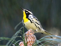 Yellow-throated Warbler, Setophaga dominica (bruce_aird) Tags: