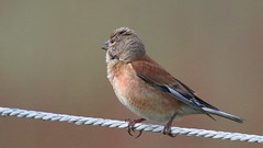 Linotte mlodieuse, Am, n (R, 2014-05-11_08) (th_franc) Tags: oiseau linottemlodieuse