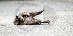 Gatti (GD-GiovanniDaniotti) Tags: cats cat chat felix occhi calico felino miao rosso gatto vue nero gatti tartaruga pelo felis chatnoir muso argentino mondo gattino soriano sandonatomilanese certosino cuccioli domestique zampe pupille gattini pelage felissilvestriscatus baffi europeo gattonero cuccia orecchie vibrisse tigrato ouie felidi mondogatto