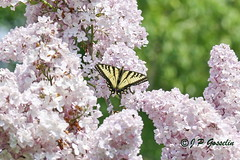 REFORD GARDENS  |   LILAC AND BUTTERFLY |  EASTERN TIGER SWALLOWTAIL    |   LES JARDINS DE METIS  |  METIS   |  GASPESIE  |  QUEBEC  |  CANADA (J.P. Gosselin) Tags: canada gardens les canon butterfly de eos quebec mark tiger lilac ii qubec 7d and eastern canoneos jardins metis gaspesie swallowtail | markii mtis gaspsie reford eos7d canoneos7d canon7d canoneosrebelt2i 7dmarkii ph:camera=canon canon7dmarkii