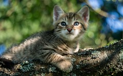 junior (08) (Vlado Ferenčić) Tags: cats animal animals kitty croatia junior catsdogs hrvatska hrvatskozagorje zagorje nikond600 nikkor2485284