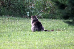 Momma Cat From The Back (Chrisser) Tags: cats ontario canada nature animal animals cat mainecooncat ourcatcompanions crazyaboutcats kissablekat kissablekats bestofcats kissablekitties kissablekitty canoneosrebelt1i canonef75300mmf456iiiusmlens