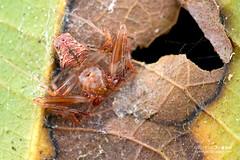 Orb weaver spider (Verrucosa sp.) - DSC_3746 (nickybay) Tags: macro peru spider amazon orb weaver tambopata verrucosa araneidae peruvianamazon tambopataresearchcenter