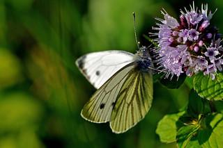 Feeding on blooming wild aquatic  mint.  - On Explore -