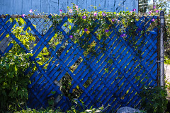 Blue - Day 265/Sept 22 (Grieving Wilson) Tags: morning blue plant green yard fence alley purple glory