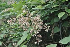 Rubus sp., Lujiapogou July 2015 (Aidehua2013) Tags: china unidentifiedplant sichuan unidentified rubus rosales rosaceae lujiapogou
