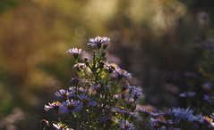 early morning asters (Johnson Cameraface) Tags: autumn light flower macro 50mm earlymorning olympus september f2 wildflower zuiko aster em1 2015 zd micro43 johnsoncameraface omde1