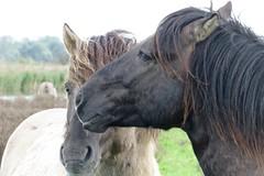 Oostvaardersplassen (Arno van Meurs) Tags: horses nature flevoland oostvaardersplassen konik konikpaarden