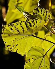 Chelsea Physic Garden 77 (Lostash) Tags: uk flowers plants london nature leaves flora botanicalgardens chelseaphysicgarden