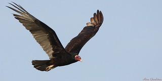 Urubu-de-cabeça-vermelha | Turkey Vulture (Cathartes aura)