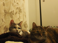 P5150005 (Raccoon Photo) Tags: cats cute sisters funny catsisters sissies adoptacat