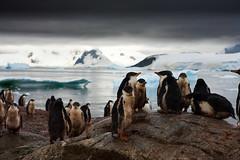 Gentoo Penguin Rookery, Peterman Island, Antarctica 2006