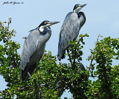 JHG_8157-b Black-headed Herons at the roost, Masai Mara, Kenya. (GavinKenya) Tags: africa wild nature animal june john mammal photography gavin photographer kenya african wildlife july grand safari dk naturephotography kenyasafari africansafari 2015 safaris africanwildlife africasafari johngavin wildlifephotography kenyaafrica kenyawildlife dkgrandsafaris africa2015 safari2015 johnhgavin