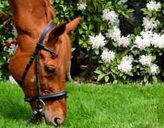 Hauptsache futtern (CaroKaracho) Tags: horse flower animal garden leaf sommer gras speedy blume blatt garten pferd fuchs vollblut englisches