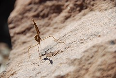 Empuse - Empusa pennata (Mathias Dezetter) Tags: wild animal fauna mantis insect pierre wildlife praying morocco maroc atlas marrakech animaux insecte mante faune mantes brousse prdateur arthropode invertbr