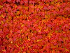 red beauty (Jrg Paul Kaspari) Tags: autumn red rot fall texture leaves leaf colorful herbst decoration foliage climber blatt bltter parthenocissus kletterpflanze wandschmuck textur redheat wilderwein redbeauty herbstfrbung farbwechsel parthenocissustricuspidata tricuspidata selbstkletternde selbstkletternder