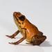 Andinobates geminisae (Geminis' dart frog)