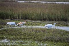 Whooping Crane Family (limedestruction) Tags: bird nature texas crane wildlife birding whoopingcrane aransasnwr
