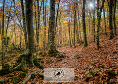 Fageda d'en Jord (Acrocephalus Photography) Tags: autumn trees tree green fall leaves yellow spain catalonia girona catalunya es esp beech catalua garrotxa santapau fagedadenjord catalunyaexperience