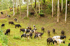 L1001906 (Roy Prasad) Tags: leica travel india nature cow milk cattle farm kerala dairy prasad in s006 kannandevanhills royprasad