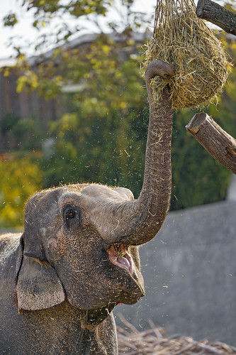 Elephant and hay