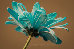 The Blues (The Gaggle Photography | Jessica Nelson) Tags: macro macroflowers