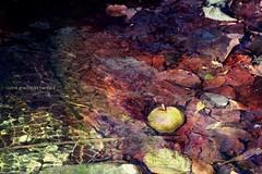 Manzanas en el agua (1/2) · Riera de Santa Fe, Montseny, Barcelona (Ana López Heredia) Tags: analópezheredia canoneos600d canon eos 600d tamron18270mmf3563diiivcpzd tamron manzana apple agua water hojas leaves riera santafe montseny barcelona bosque