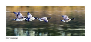 Geese over troubled waters