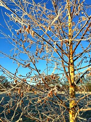 Frosty Morning (Heaven`s Gate (John)) Tags: frost morning december landscape sunshine tree field nature reserve dickensheath england winter cold johndalkin heavensgatejohn blue sky frosty park